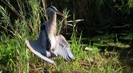 Stock Video Footage of A bird in an Everglades swamp adopts a mating posture.