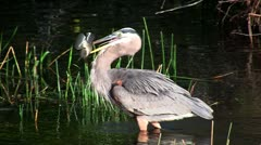 A bird in an Everglades swamp catches a fish. Stock Footage