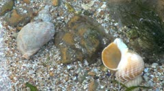 Netted Dog Whelk Sea Shells Stock Footage
