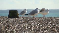 Black Headed Gulls Winter Plumage Stock Footage