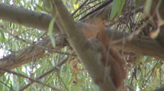 A beautiful squirrel eating Stock Footage