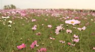 Beautiful cosmos flowers hill with people walking at sunset Stock Footage