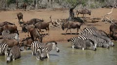 Zebras and wildebeest drinking Stock Footage