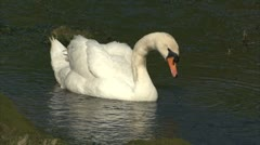 A swan feeding on a pond Stock Footage