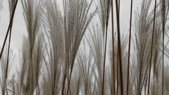 Beautiful soft silver feather grass swaying in field Stock Footage