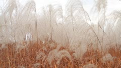 Beautiful soft cotton silver feather grass in field Stock Footage