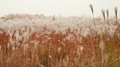 Beautiful landscape with silver feather grass on field Stock Footage