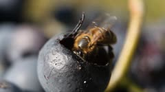 Macro, Beautiful Bee Eating Purple Sweet Grapes, Autumn, Close Up, Hive, Beehive - stock footage