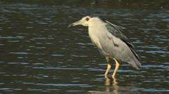 Adult Black Crowned Night Heron Stock Footage