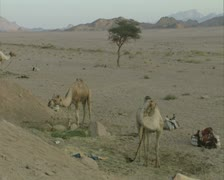Tethered camels in desert Stock Footage