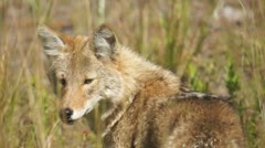 Coyote Female - stock footage