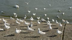 0127 swan and seagulls on the sea coast Stock Footage