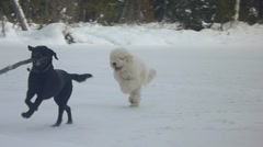Two Dogs Playing Fetch in Snow Stock Footage