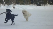 Stock Video Footage of Two Dogs Playing Fetch in Snow