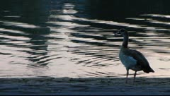 Ladenburg duck Neckar river Neckar-Odenwald Stock Footage