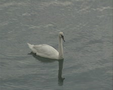 Zoom out from swan in harbour - stock footage