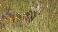 Stock Video Footage of Coyote Hunting