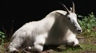 Stock Video Footage of rocky mountain goat