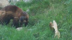 wolverine - stock footage