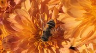 Stock Video Footage of Macro, Beautiful Bumble-Bee Pollinating Wonderful Flower in Summer, Hive