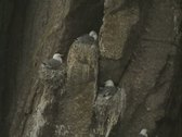 Stock Video Footage of Seagulls on cliff on nests