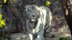 White Tiger - stock footage