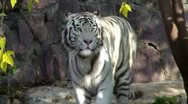 Stock Video Footage of White Tiger