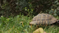 Turtle in grass Stock Footage