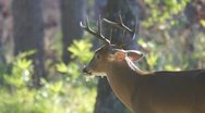 Whitetail Deer Buck Stock Footage