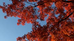 Colorful leaves on tree in autumn and blue sky 3 Stock Footage