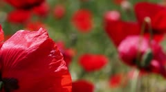 Poppies field, close up. Focusing from foreground to background - stock footage