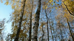 0151 autumn birches in the forest and sky Stock Footage
