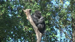 WorldClips-Chimp in Tree-2 Stock Footage