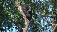 Stock Video Footage of WorldClips-Chimp in Tree
