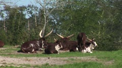 WorldClips-Longhorns Stock Footage