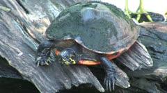 WorldClips-Painted Turtle Stock Footage