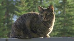 Tabby Cat Stock Footage