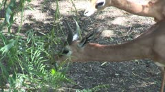 WorldClips-Gazelles Eat-cu Stock Footage
