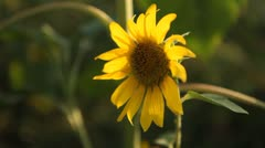 Sunflower Field in Summer, Full Grown, Research, Organic Agriculture, CloseUp Stock Footage