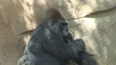 WorldClips-Gorilla Silverback Looks Up Stock Footage