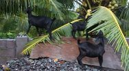 Goats eating coconut palm Stock Footage