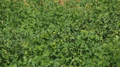 Alfalfa Fields, Bio Agriculture, Food for animals, Lucky Clover Stock Footage