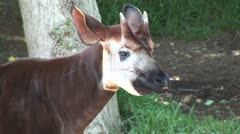 WorldClips-Okapi-cu - stock footage
