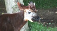 Stock Video Footage of WorldClips-Okapi-cu