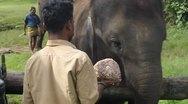 Feeding of a working elephant Stock Footage