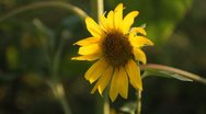Stock Video Footage of Sunflower Field in Summer, Full Grown, Research, Organic Agriculture, CloseUp