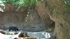 WorldClips-Sun Bear Enters Cave Stock Footage