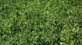 Alfalfa Fields, Bio Agriculture, Food for animals, Lucky Clover Footage