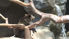 WorldClips-Young Grizzly Bears-zoom Stock Footage