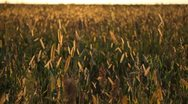 Stock Video Footage of Grain Sorghum Field, Broomcorn, Milo, Landscape and Close-up, Biofuels